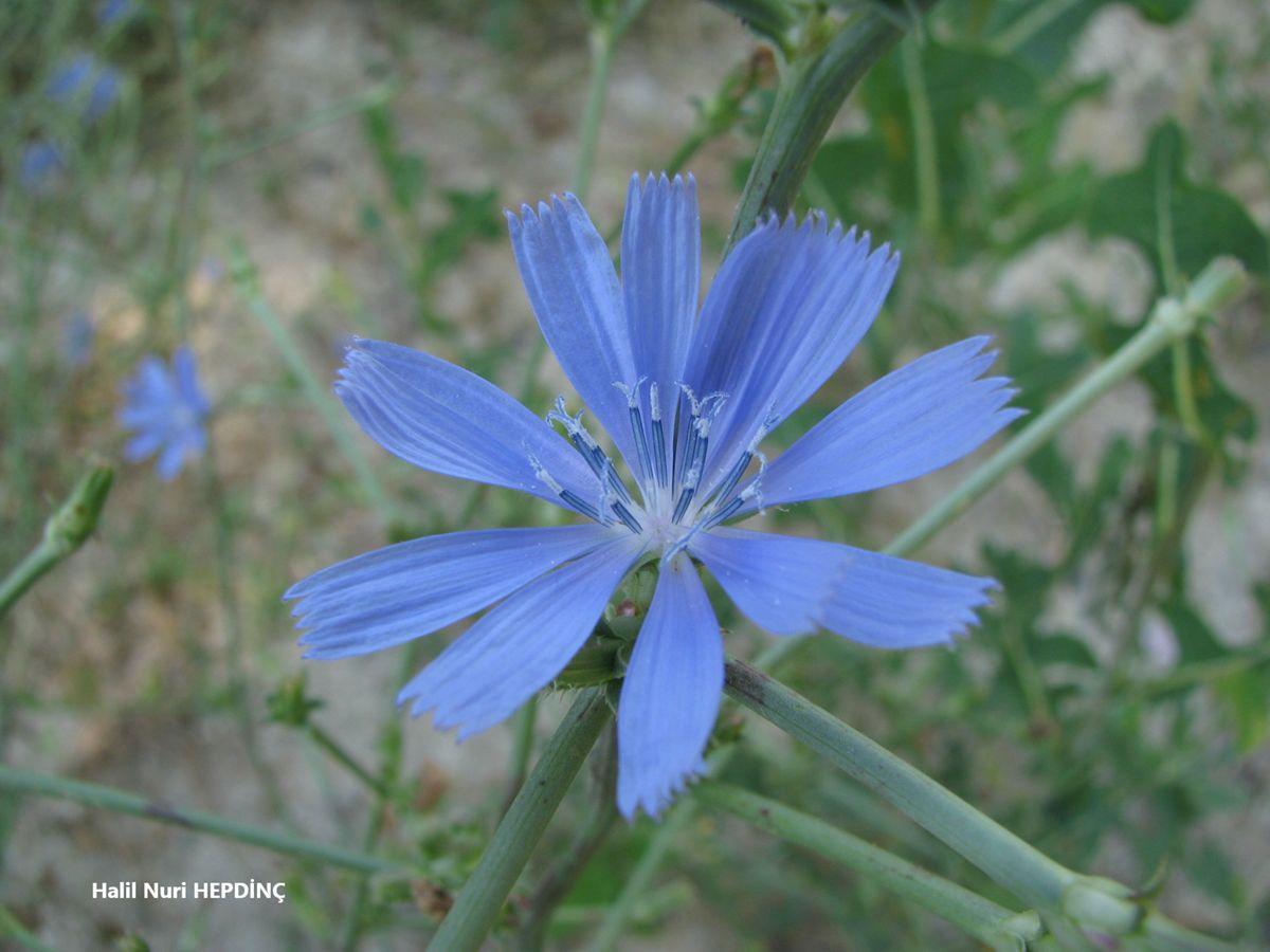 Hindiba (Cichorium ıntybus)