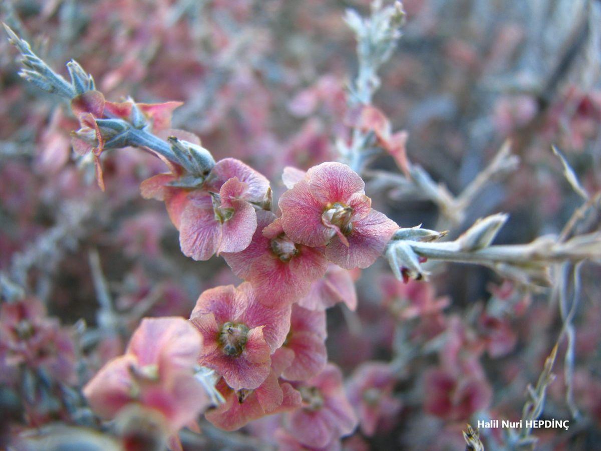Hölmezotu (Noaea mucronata subsp. mucronata)