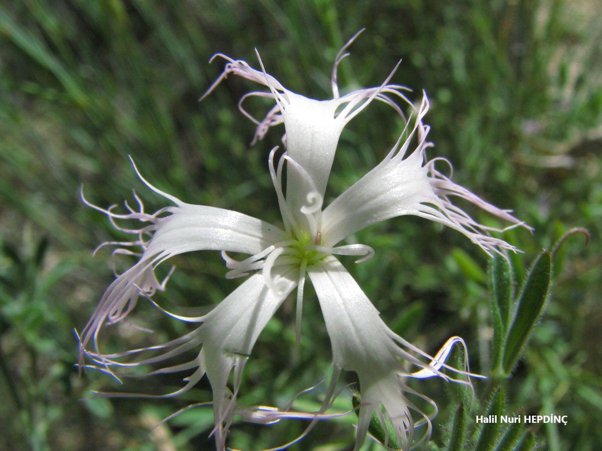 Uzunçanak (Dianthus crinitus var. crinitus)