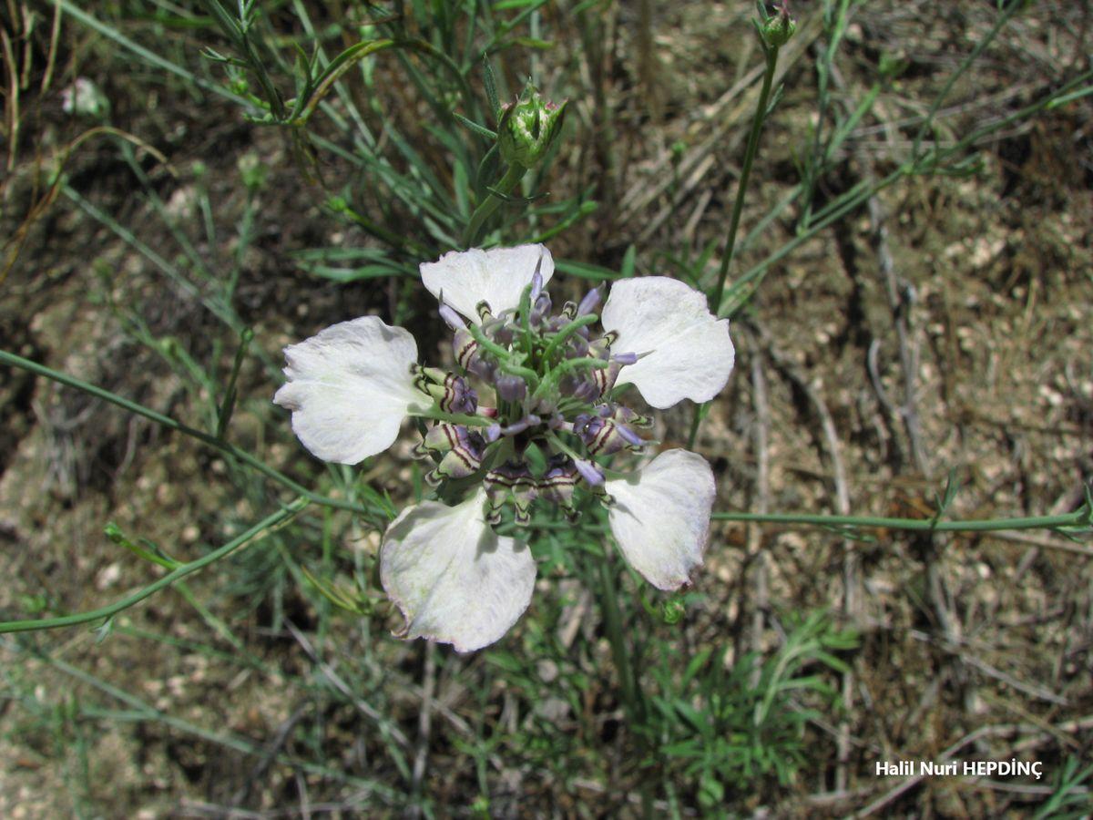 Tarla çörekotu (Nigella arvensis var. glauca)