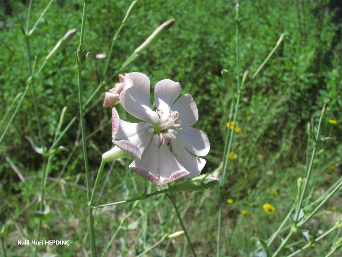 Puşkulu (Silene chlorifolia)