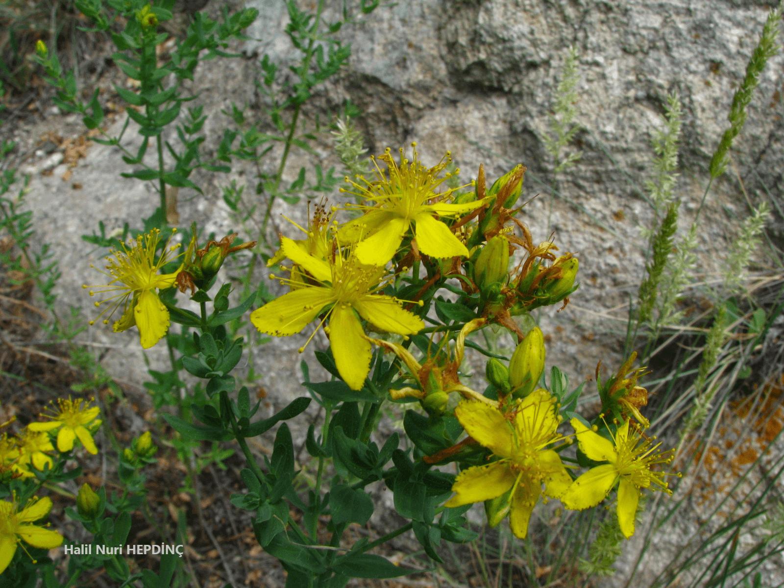 Kantaron (Hypericum perforatum subsp. veronense)