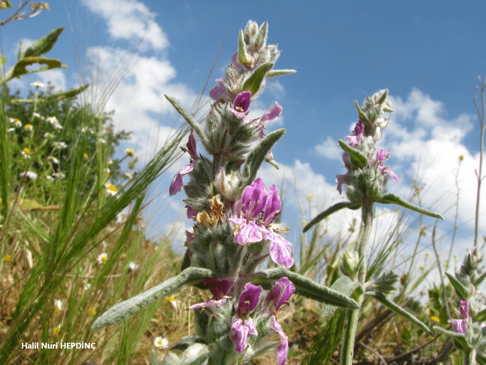 Yağlıkara (Stachys cretica subsp. anatolica ) (ENDEMİK)