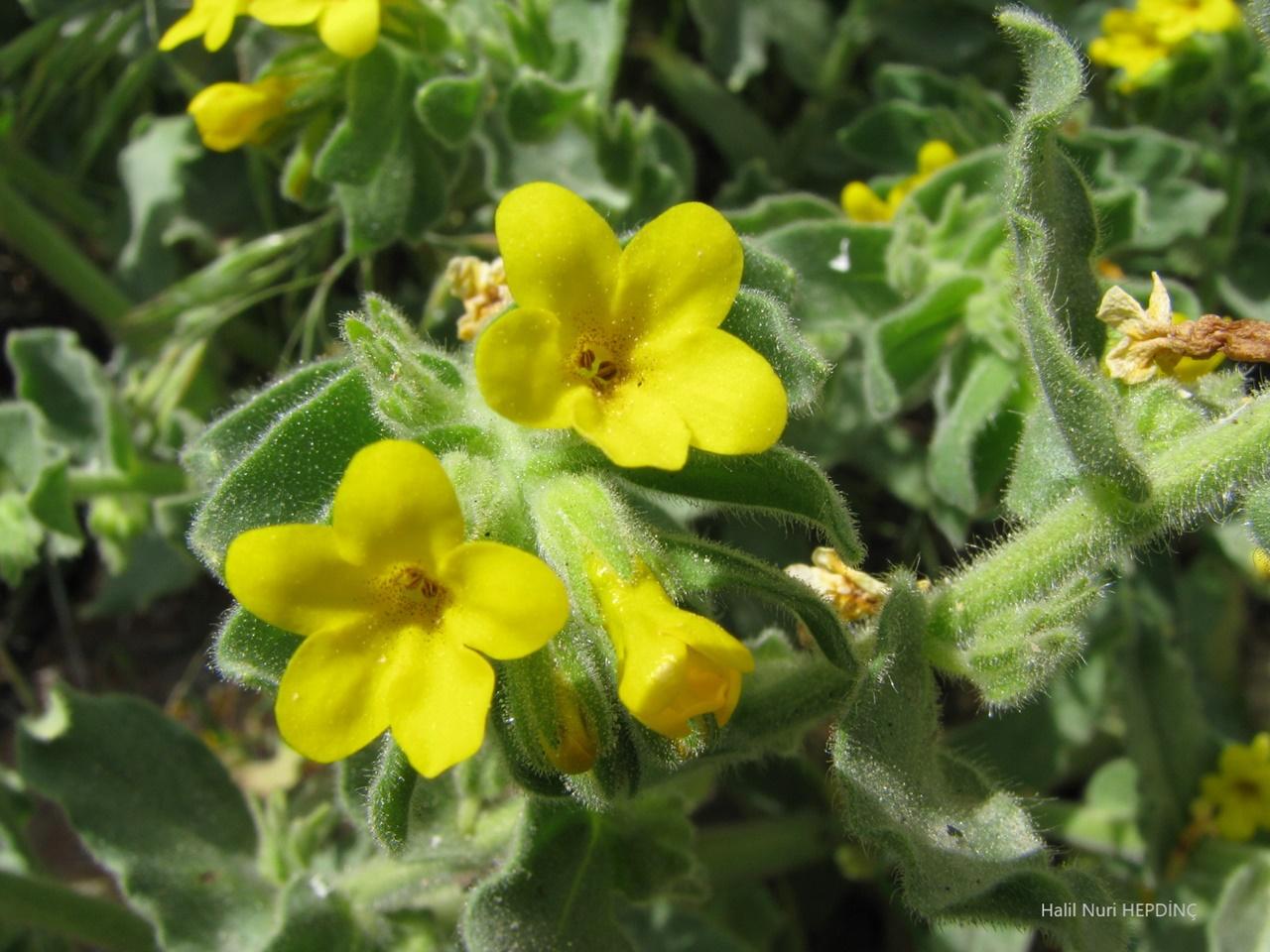 Sarı sormuk (Alkanna orientalis var. orientalis)
