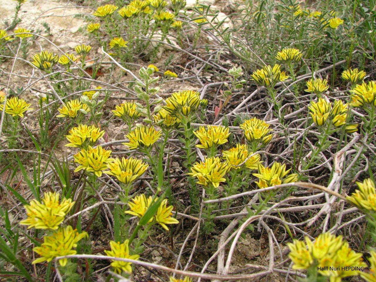 Özge sedo(Haplophyllum telephioides) (ENDEMİK)