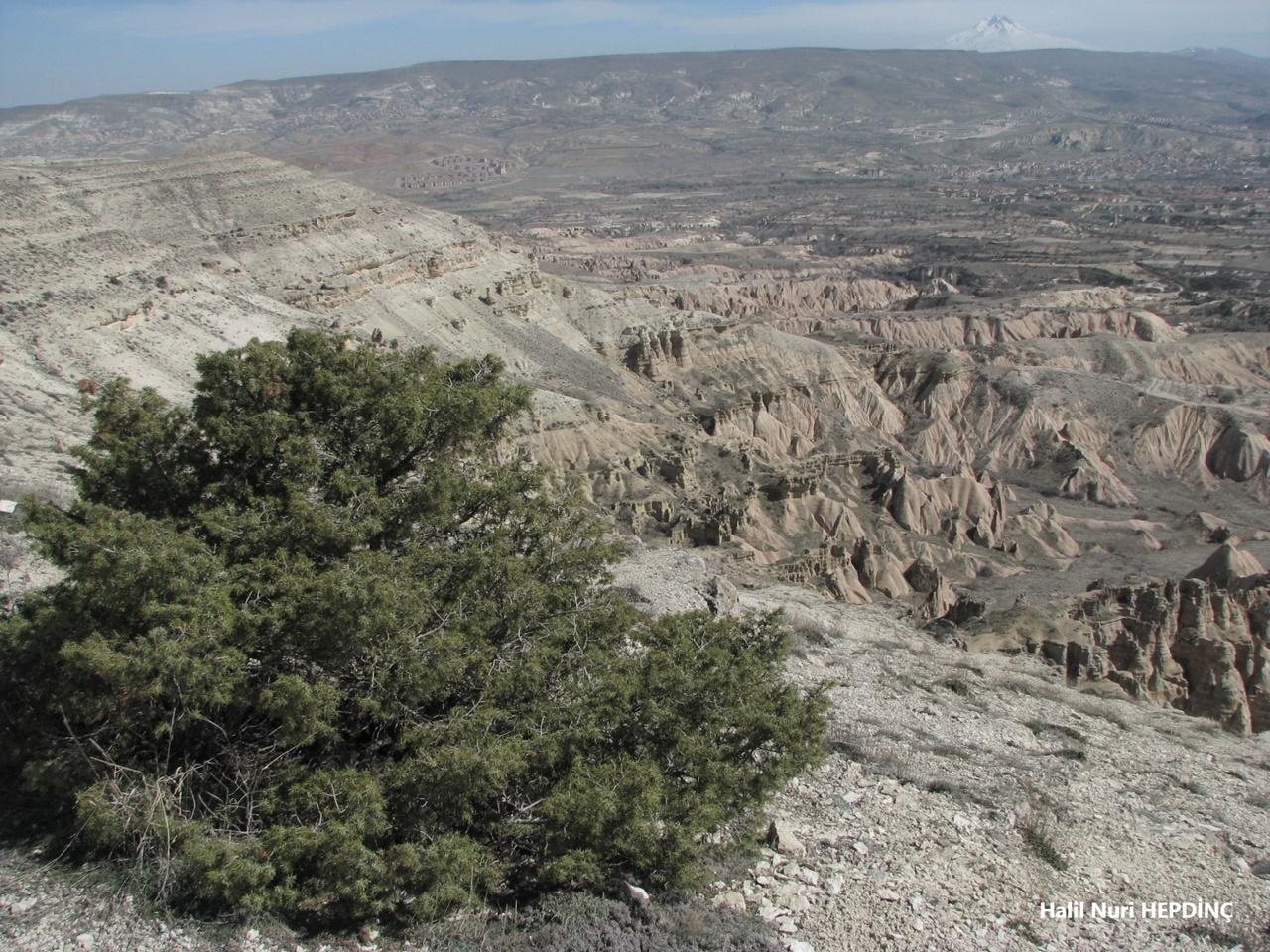 Katran ardıcı(Juniperus subsp. oxycedrus var. oxycedrus)