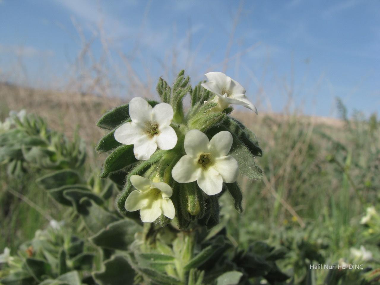 Sarı sormuk (Alkanna orientalis var. leucantha) -beyaz renkli- (ENDEMİK)