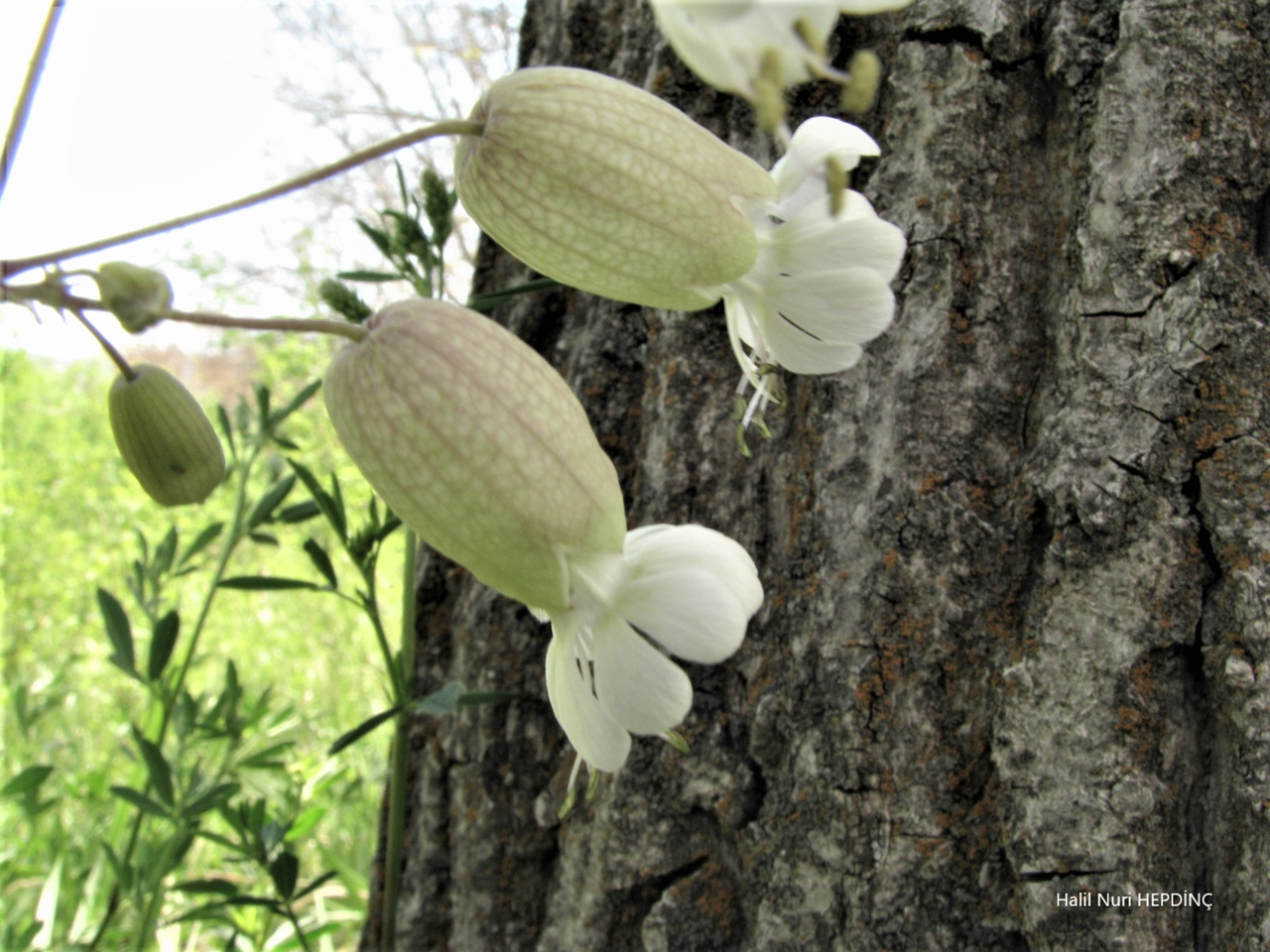 Ecibücü (Silene vulgaris var. vulgaris)