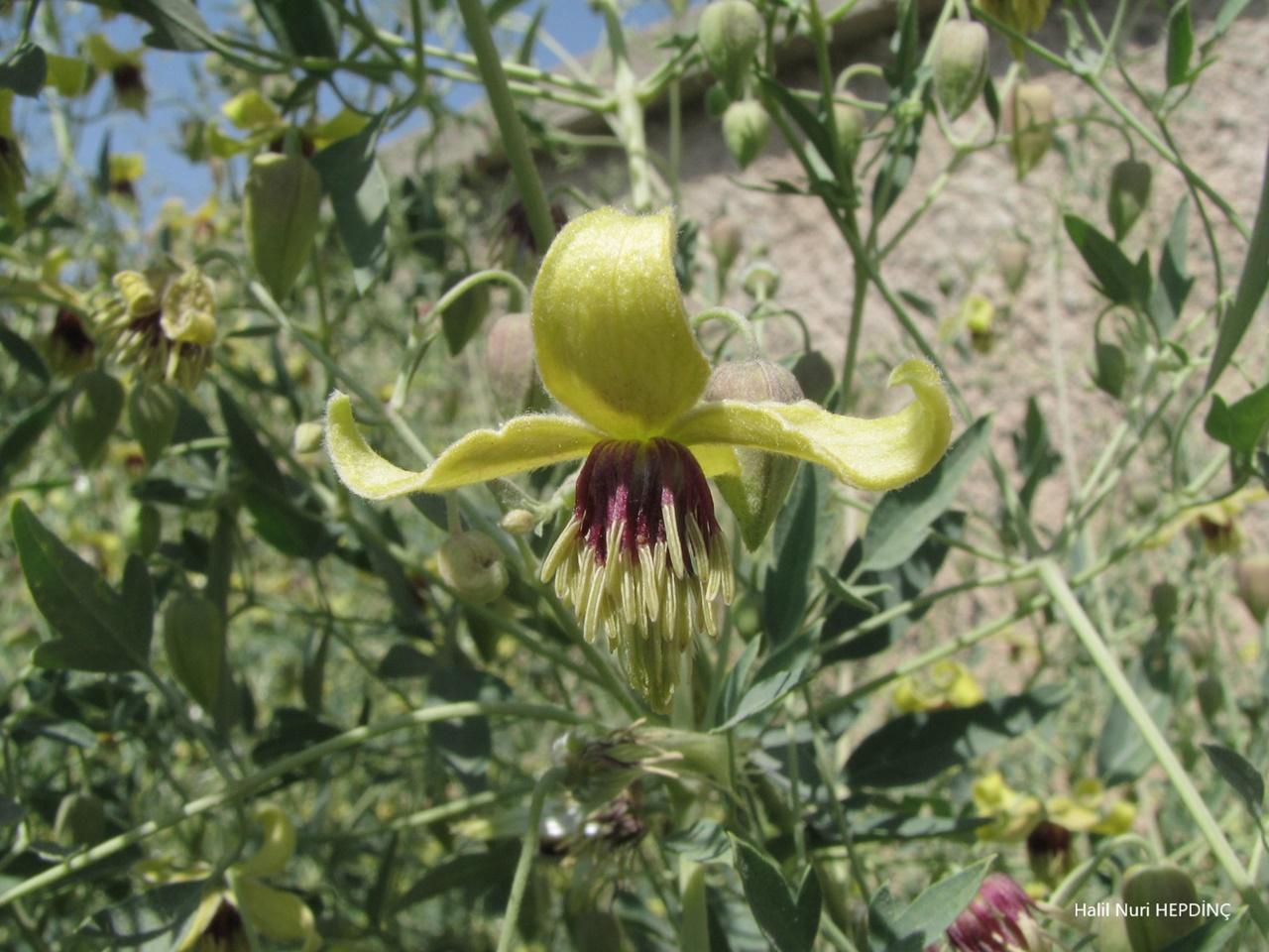 Köpektutağı (Clematis orientalis)