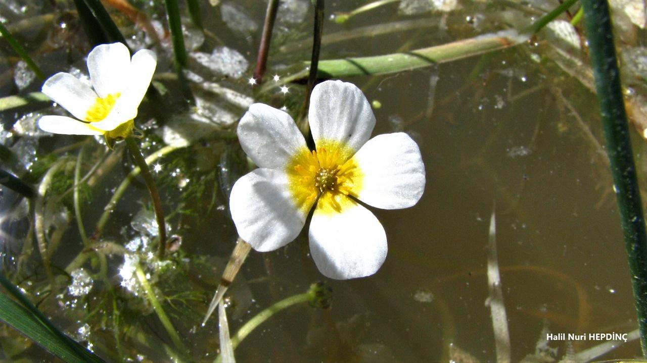Su çiçeği (Ranunculus sphaerospermus)