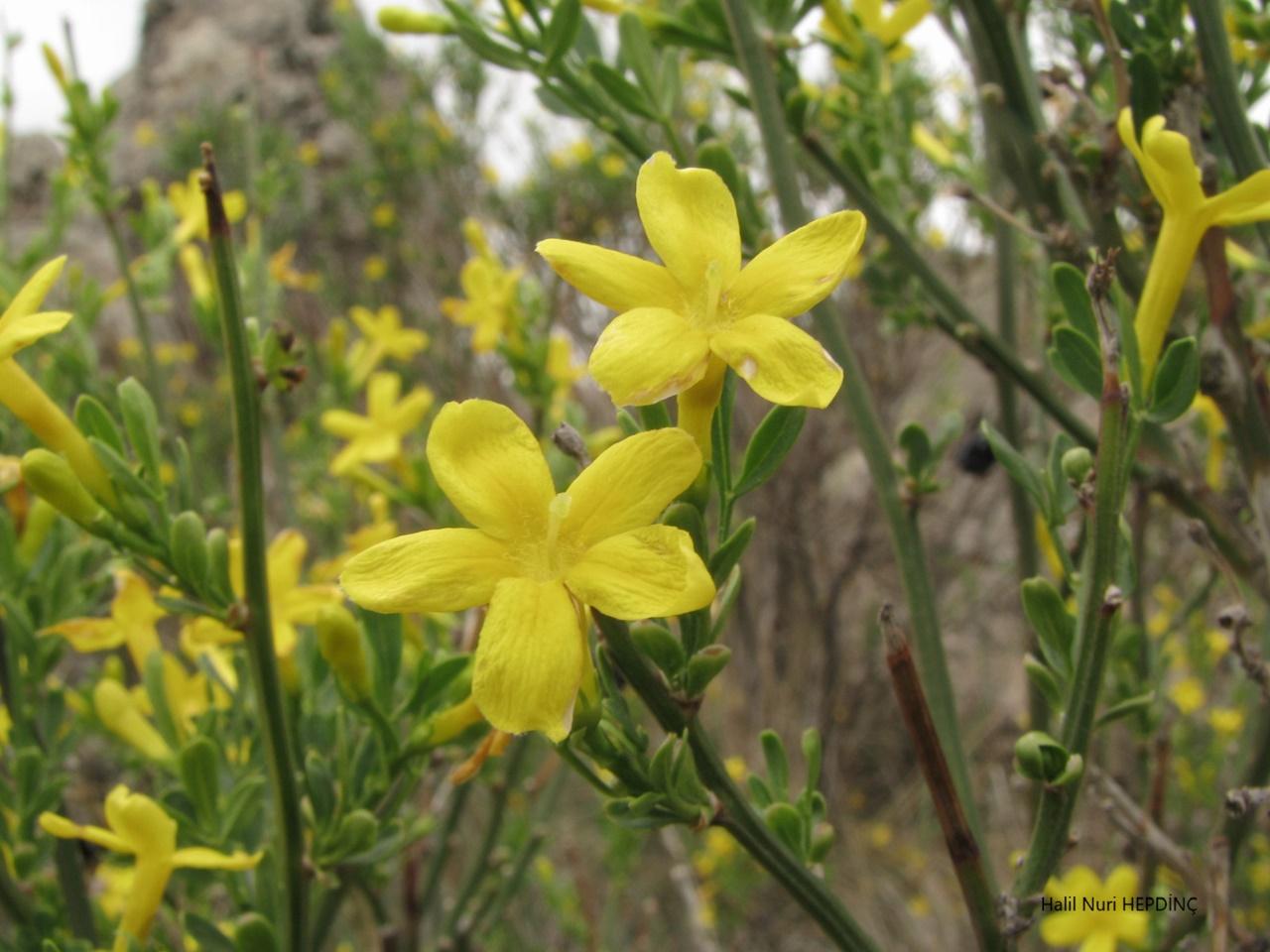 Boruk, Yabani yasemin (Jasminum fruticans)