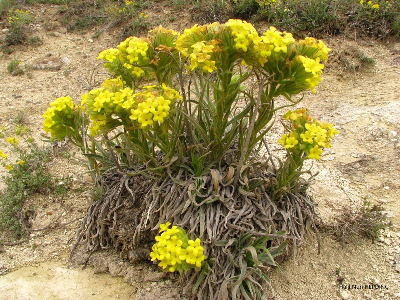 Koca eğnik(Macrotomia densiflora) (Eş Ad: Arnebia densiflora)